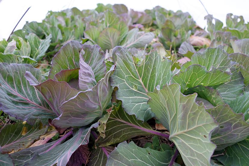 越冬野菜たち。: BENの畑